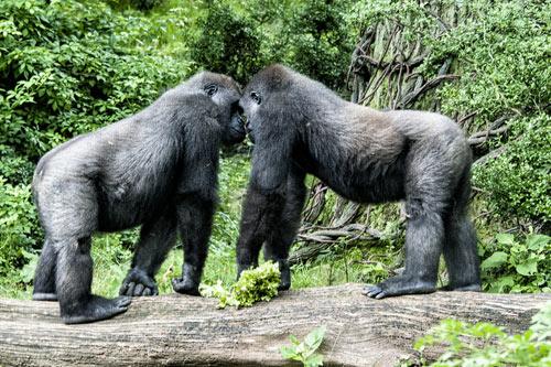 Gorillas im Konflikt