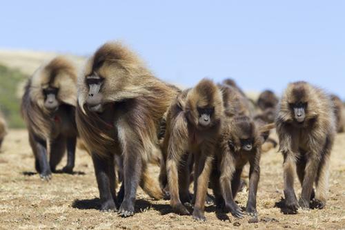 Affengruppe schreitet durch offenes Gelände